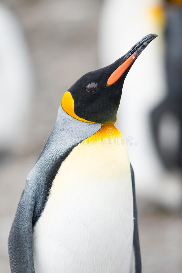Download King Penguin, South Georgia, Antarctica Stock Photo - Image: 39768480