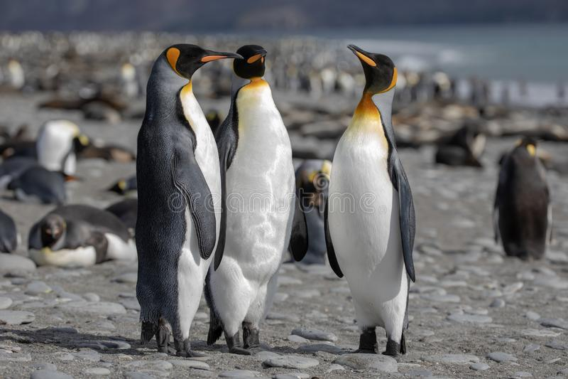 King penguin. Three King penguins socializing on a beach. stock image