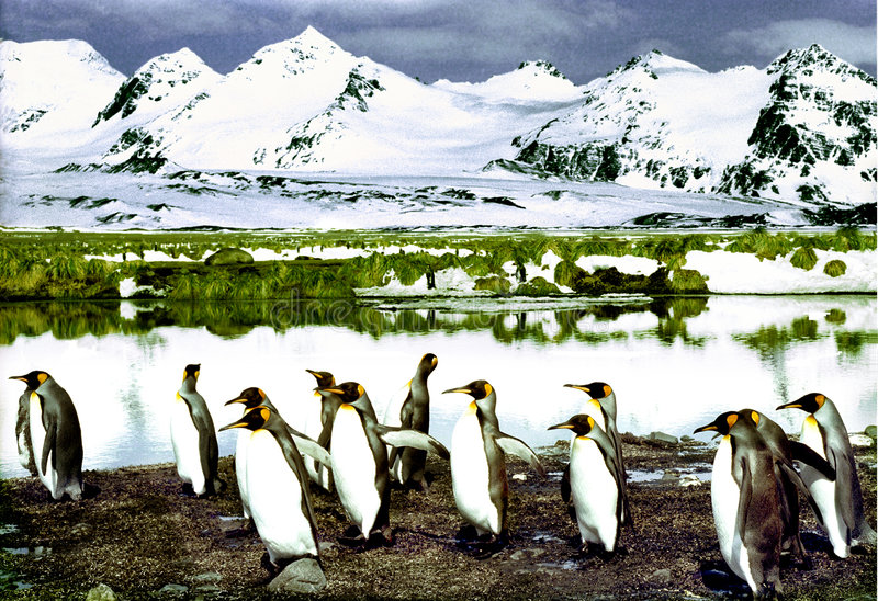 King Penguins royalty free stock image