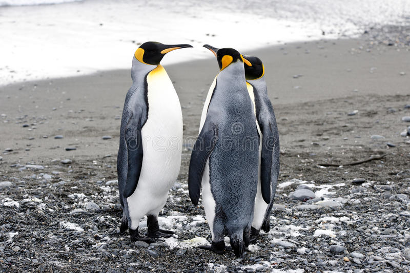 King penguins royalty free stock photo