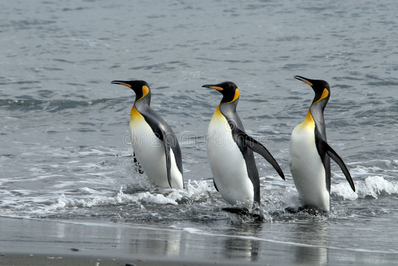 King Penguins royalty free stock photos