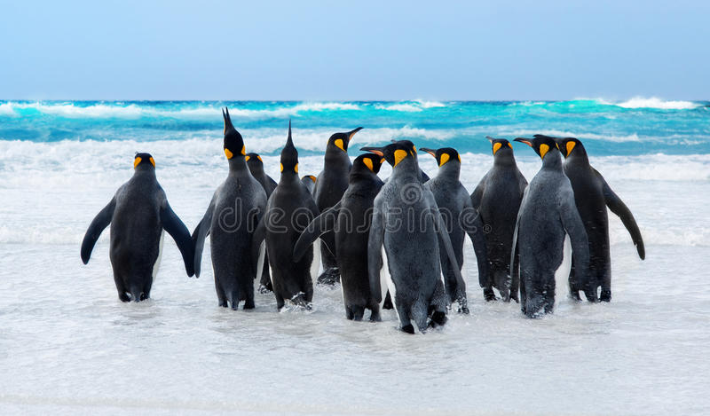 King Penguins. Heading to the water in the Falkland Islands