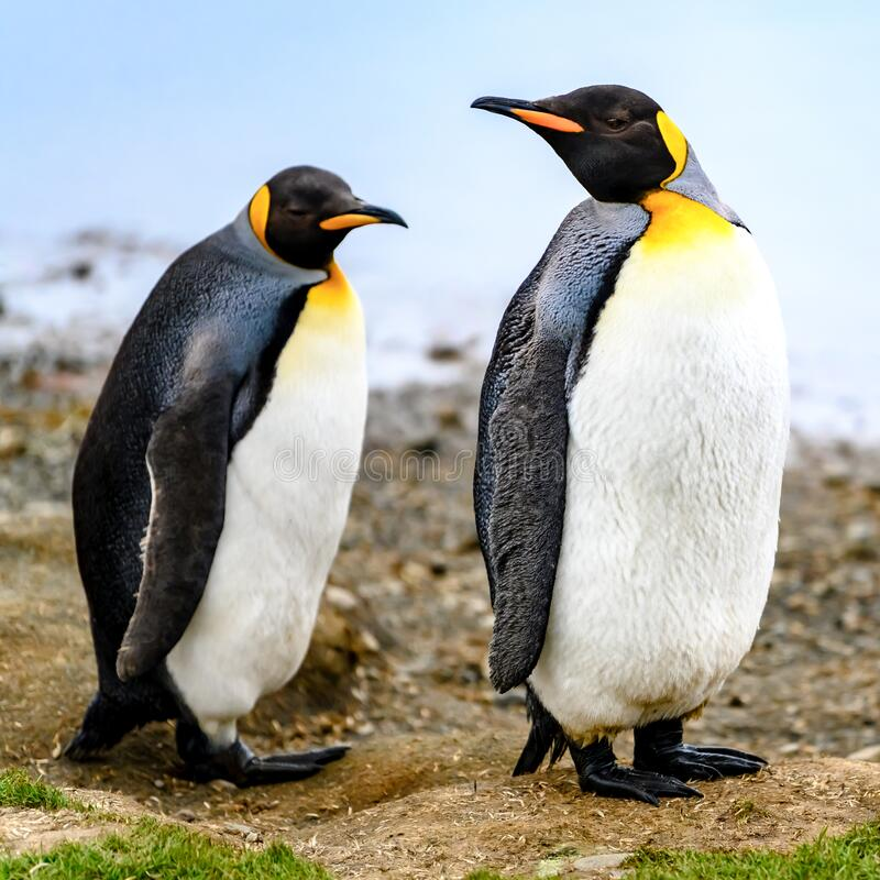 King penguins - Aptendytes patagonica - standing on beach in  South Georgia stock photo