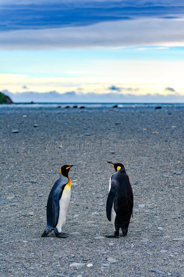 Free King Penguins - Aptendytes Patagonica - Standing On Beach In South Georgia. Taking A Walk On Early Morning. Daybreak Antarctica.  Royalty Free Stock Photo - 182729225