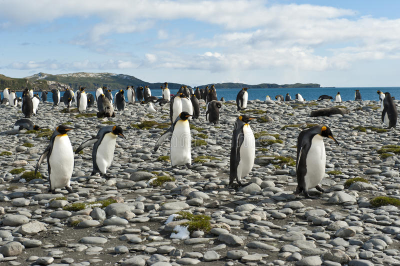King Penguins At The Beach Of South Geogia Stock Photography