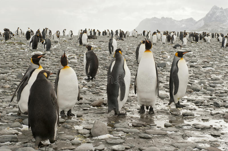 Download King Penguins At The Beach Of South Geogia Stock Image - Image: 27500947