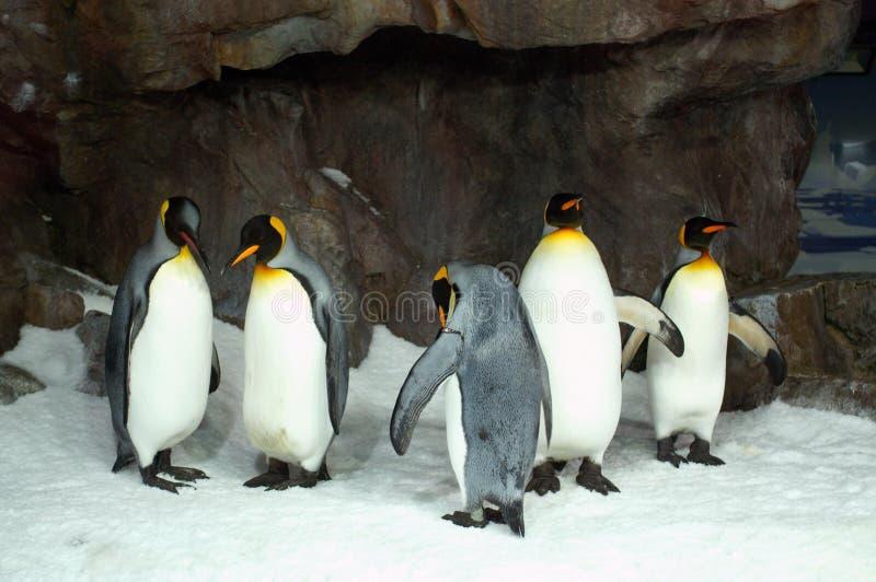 King Penguins in Captivity