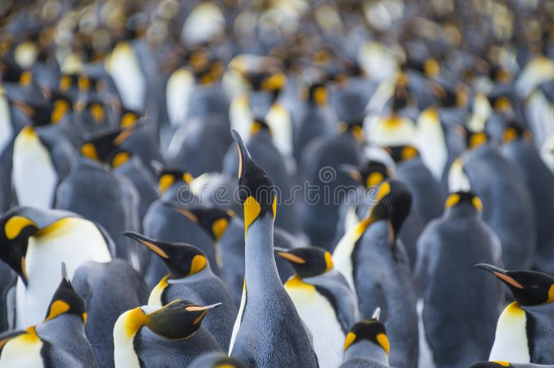 King Penguins colony Gold Harbour stock photography