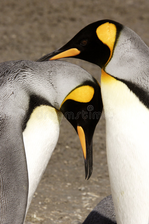Download King Penguins Courting stock image. Image of courtship - 4158959