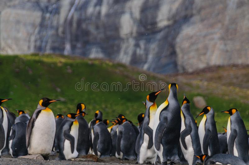 King Penguins on Gold Harbour stock photos