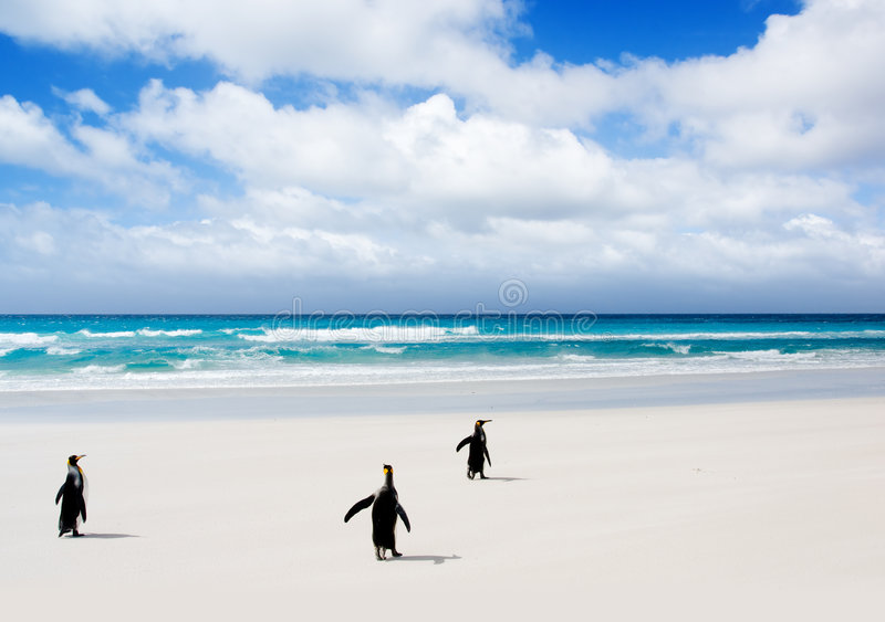 King Penguins heading to the water royalty free stock photos