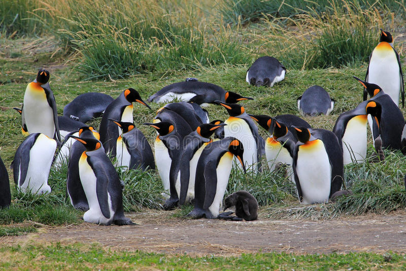 King penguins living wild at Parque Pinguino Rey, Patagonia, Chile royalty free stock photos