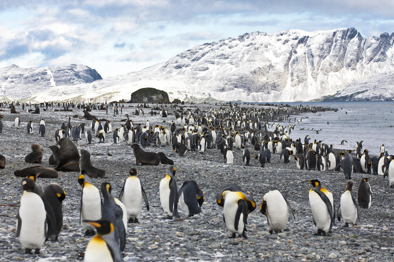 King penguins, mountains, ocean, Antarctica royalty free stock image