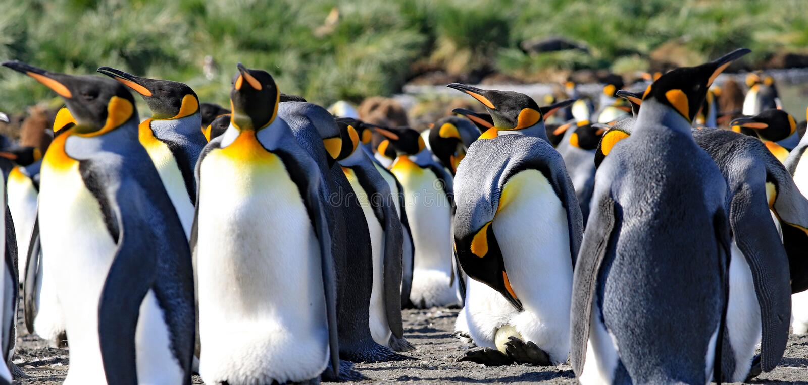 King penguins, one with an egg royalty free stock images