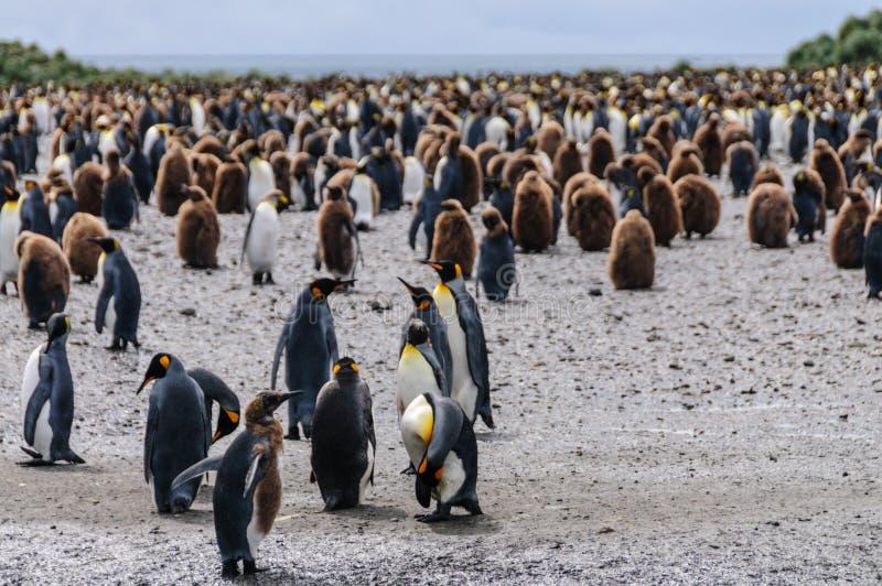 King Penguins on Salisbury plains. A Group of King Penguins - Aptenodytes patagonicus - On the Salisbury plains of South Georgia Island stock images