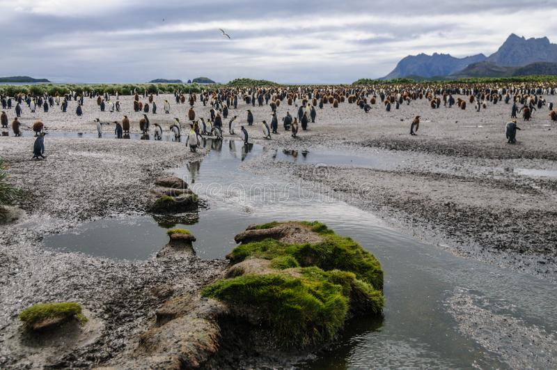 King Penguins on Salisbury plains. Impression of the wild abundance of King Penguins at Salisbury Plains, South Georgia royalty free stock images