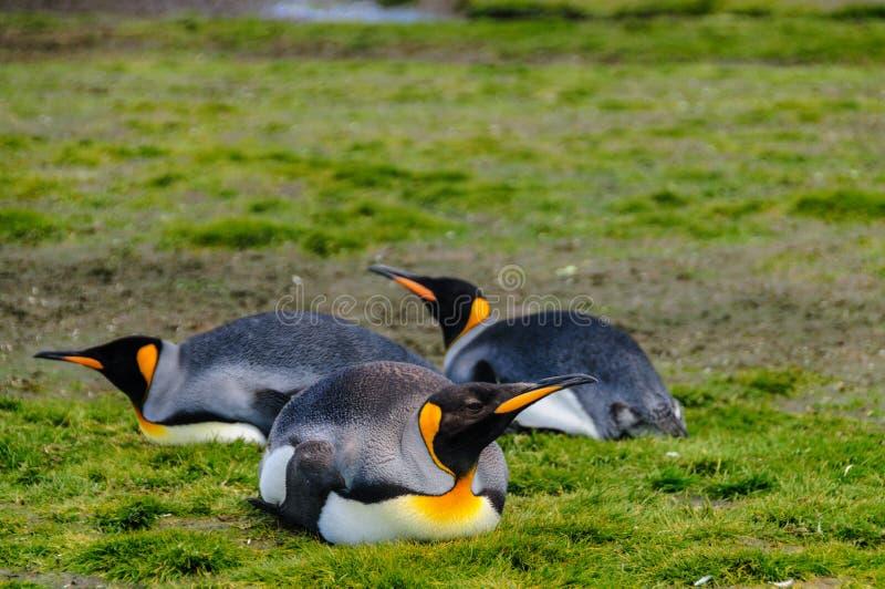 King Penguins on Salisbury plains. Impression of the wild abundance of King Penguins at Salisbury Plains, South Georgia royalty free stock image