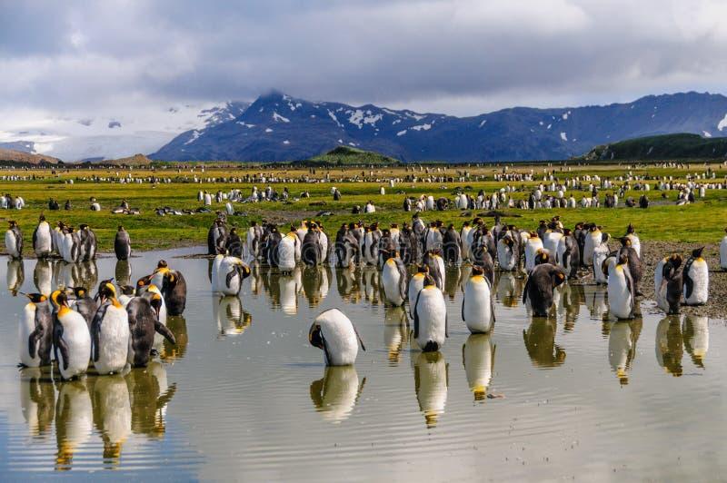 King Penguins on Salisbury plains. Impression of the wild abundance of King Penguins at Salisbury Plains, South Georgia stock photo