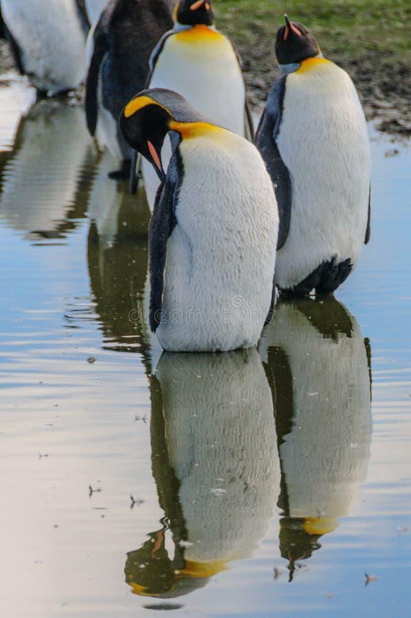 King Penguins on Salisbury plains. Impression of the wild abundance of King Penguins at Salisbury Plains, South Georgia stock photos