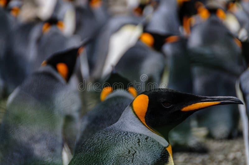 King Penguins on Salisbury plains. Impression of the wild abundance of King Penguins at Salisbury Plains, South Georgia stock image