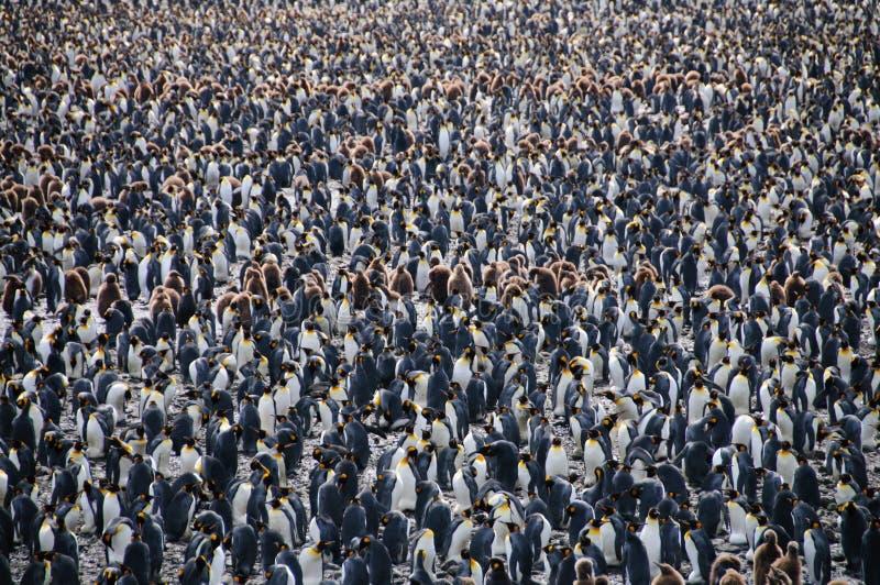 King Penguins on Salisbury plains. Impression of the wild abundance of King Penguins at Salisbury Plains, South Georgia. Salisbury plains is home to one of the stock image