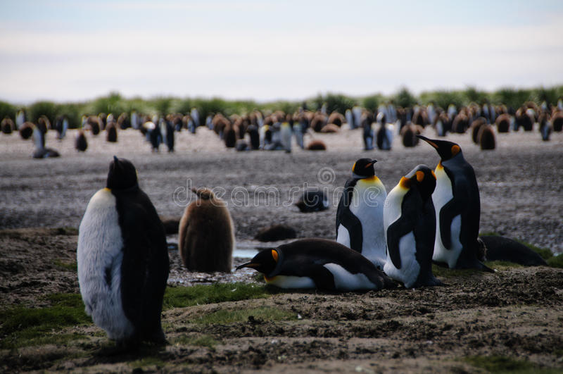 King Penguins on Salisbury plains. Impression of the wild abundance of King Penguins at Salisbury Plains, South Georgia. Salisbury plains is home to one of the stock images