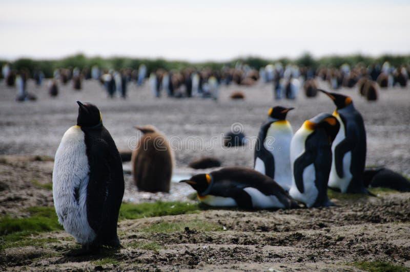 King Penguins on Salisbury plains. Impression of the wild abundance of King Penguins at Salisbury Plains, South Georgia. Salisbury plains is home to one of the royalty free stock photo
