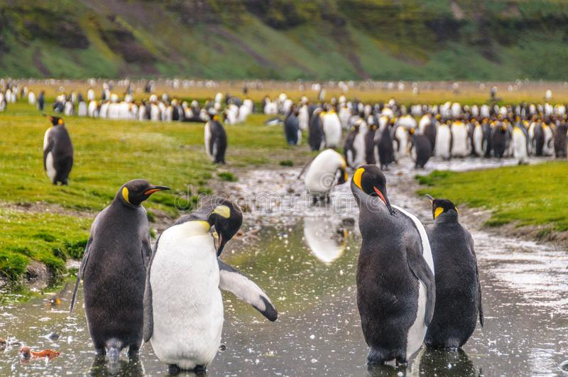 King Penguins on Salisbury Plains. A large group of King Penguins -Aptenodytes patagonicus- Standing on the Salisbury Plains of South Georgia royalty free stock images
