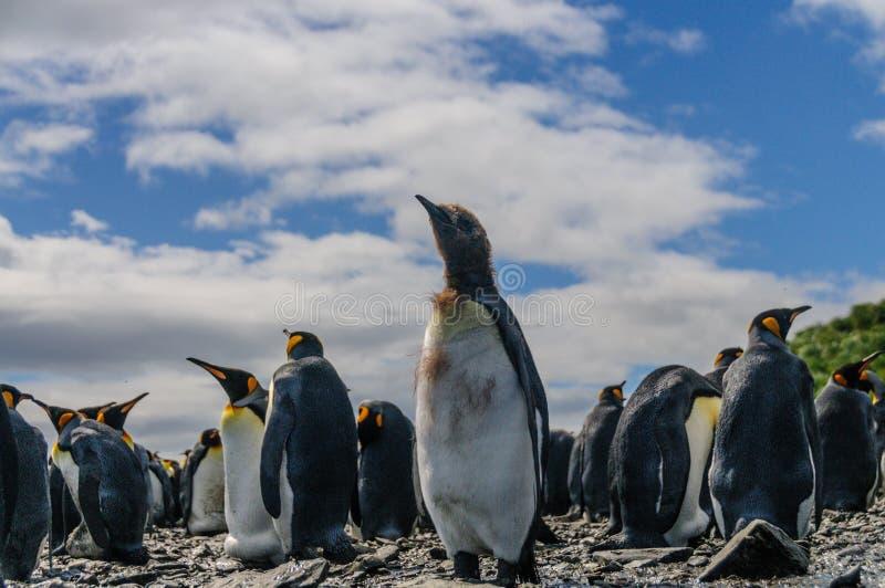 King Penguins on Salisbury plains. A large group of King Penguins -Aptenodytes patagonicus gathered on Salisbury plains, South Georiga stock image