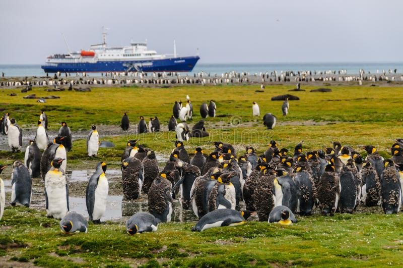 King Penguins on Salisbury plains. A large group of King Penguins -Aptenodytes patagonicus, seen against the backdrop of an Antarctic Expedition ship. Salisbury royalty free stock photography