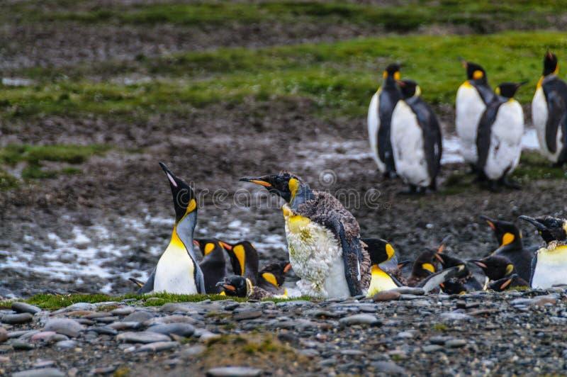 King Penguins on Salisbury Plains. A large group of King Penguins -Aptenodytes patagonicus- Standing on the Salisbury Plains of South Georgia stock photo