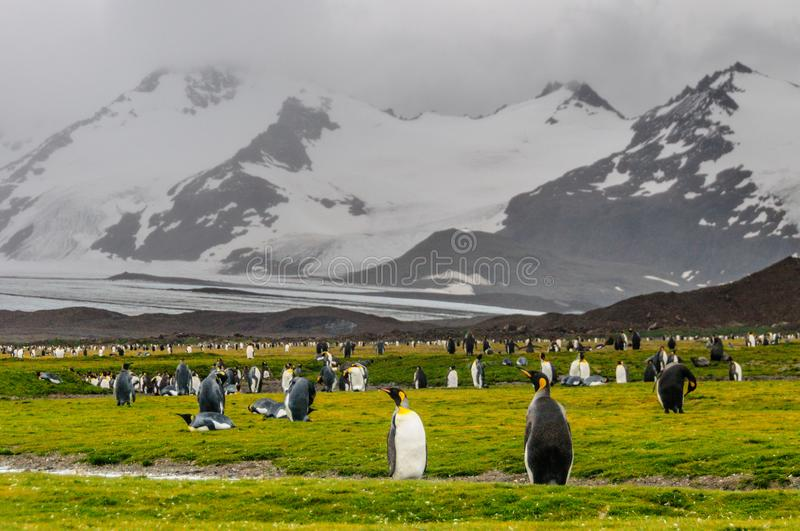 King Penguins on Salisbury Plains royalty free stock photos