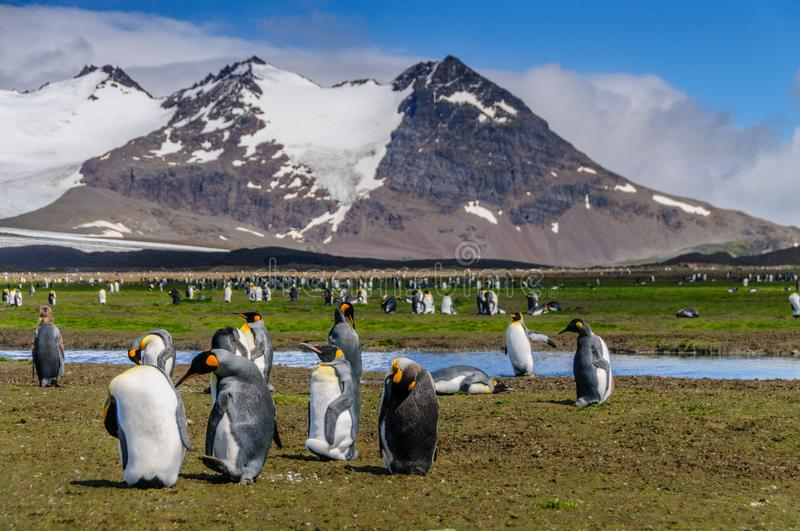 King Penguins on Salisbury Plains. A scattered group of King Penguins standing on the Salisbury Plains, on South Georgia Islands, shown against a mountain royalty free stock images