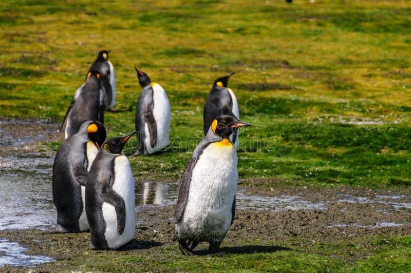King Penguins on Salisbury plains. A Small group of King Pengiosn Walking near a pond on Salisbury Plains, South Georgia royalty free stock photography
