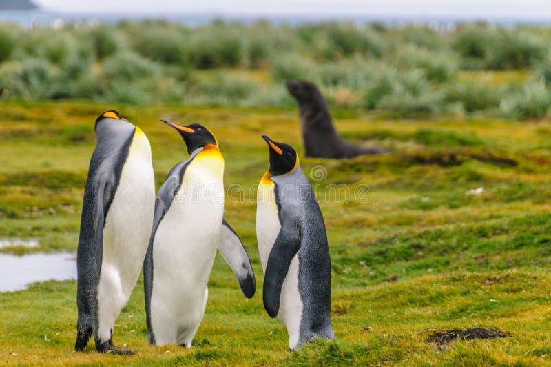 King Penguins on Salisbury Plains. Three King Penguins -Aptenodytes patagonicus- engaging in a courtship ritual on Salisbury plains, South Georgia royalty free stock photos