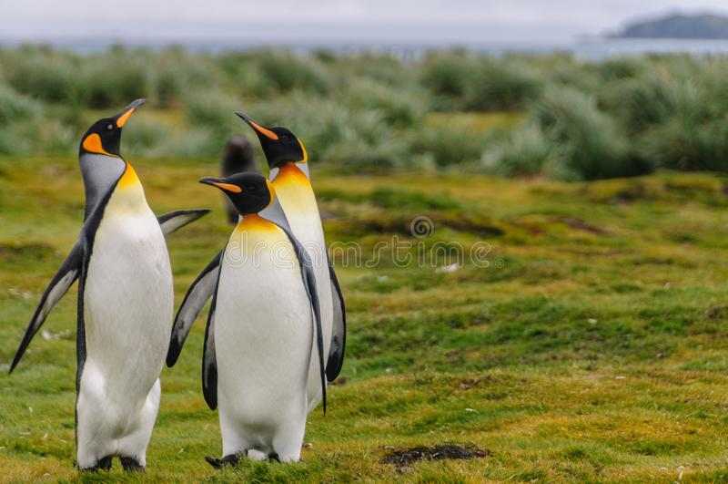 King Penguins on Salisbury Plains. Three King Penguins -Aptenodytes patagonicus- engaging in a courtship ritual on Salisbury plains, South Georgia royalty free stock images