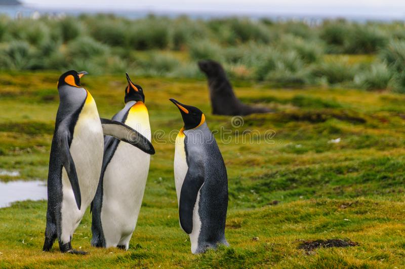 King Penguins on Salisbury Plains. Three King Penguins -Aptenodytes patagonicus- engaging in a courtship ritual on Salisbury plains, South Georgia royalty free stock image