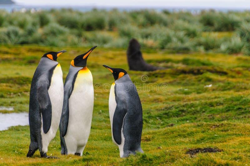 King Penguins on Salisbury Plains. Three King Penguins -Aptenodytes patagonicus- engaging in a courtship ritual on Salisbury plains, South Georgia stock image