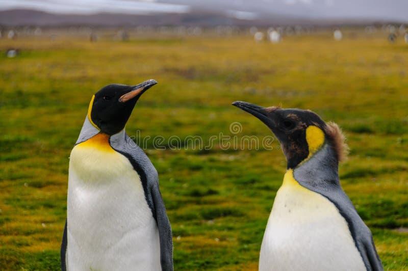 King Penguins on Salisbury Plains. Two King Penguins -Aptenodytes patagonicus- standing on the Salisbury Plains, South Georgia stock photography
