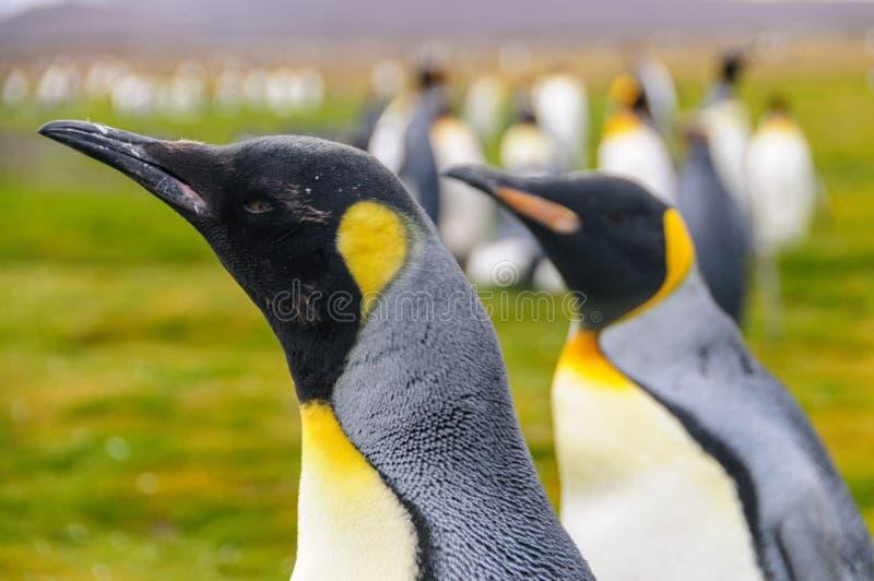 King Penguins on Salisbury Plains. Two King Penguins -Aptenodytes patagonicus- standing on the Salisbury Plains, South Georgia royalty free stock image