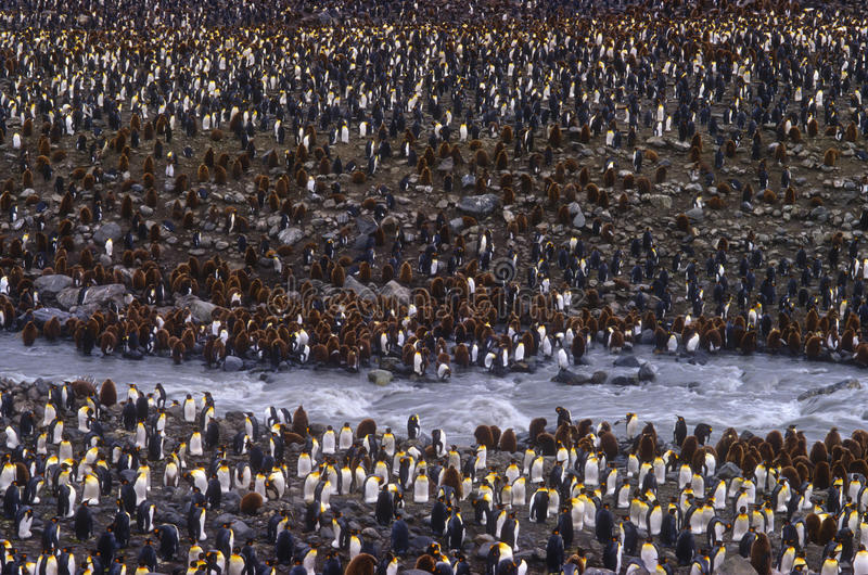 King Penguins, St. Andrews Bay, South Georgia royalty free stock photo