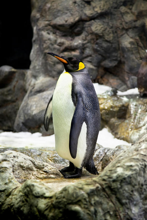 King Penguins On The Stone Coast Royalty Free Stock Photography