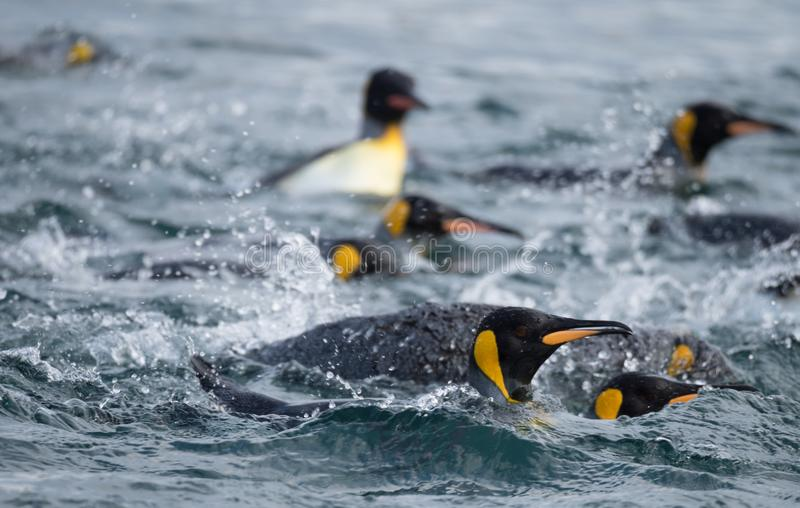 King Penguins Swimming in the Southern Ocean royalty free stock photos