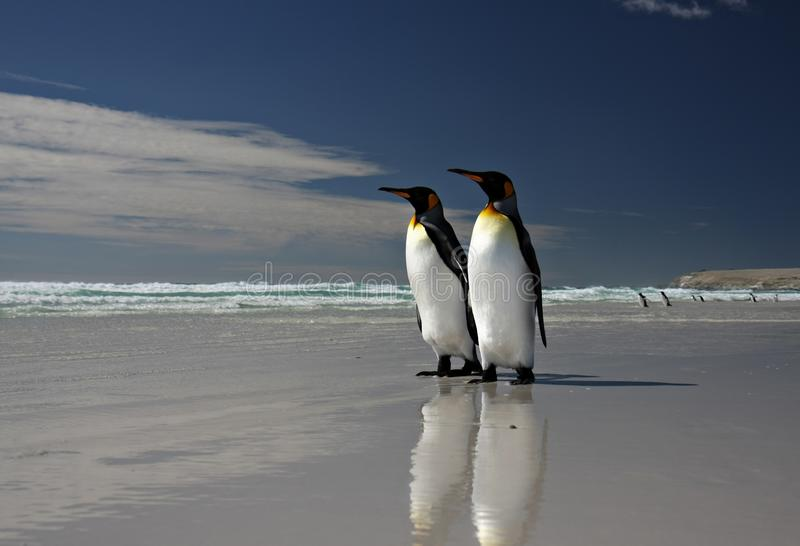 King Penguins at Volunteer Point. On the Falkland Islands royalty free stock photography