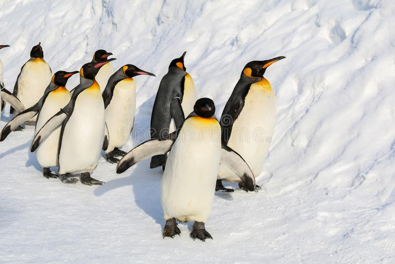 King penguins walking on the snow. stock photography