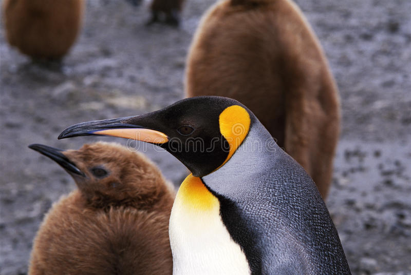 King Penquin with Baby Penguin royalty free stock photos
