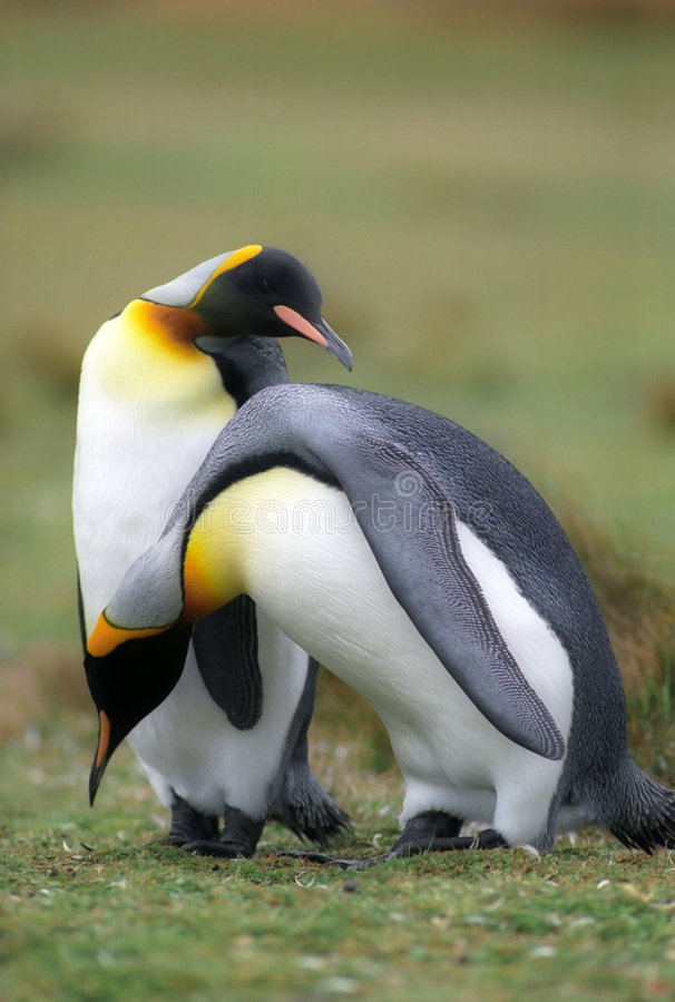 King pinguins royalty free stock photography