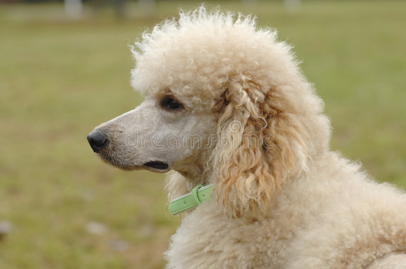 King poodle portrait royalty free stock images