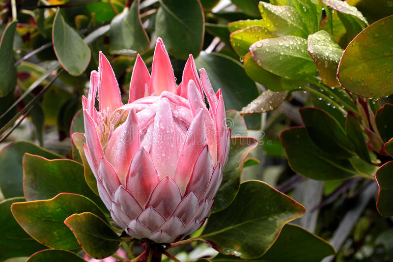 King Protea blossom (Protea cynaroides) stock photos