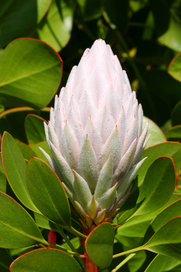King Protea flower in bloom royalty free stock photography